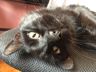 Black cat lying upside down