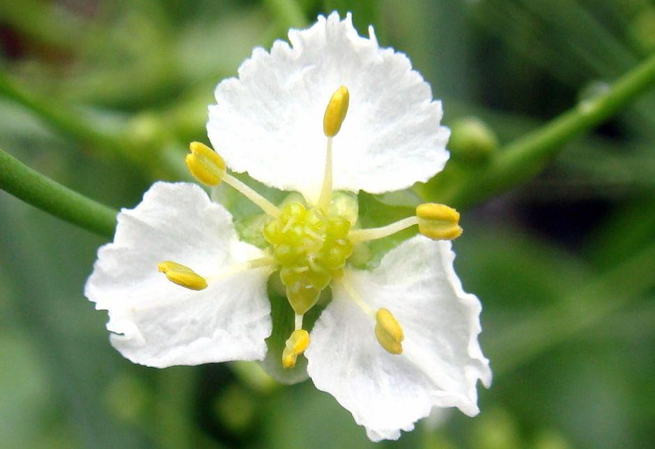 Кальдезия белозоролистная (Caldesia parnassifolia)