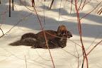 GUERRIER Ce vison d'Amérique a tué un écureuil qu'il a traîné jusqu'à une cache