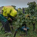 Petites vendanges 2017 du chardonnay gelé. guimbelot.com - 2017-09-30%2Bvendanges%2BGuimbelot%2Bchardonay-107.jpg