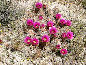 Looking down on a HedgeHog Cactus in Anza Borrego