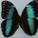 Morpho helenor lacommei ssp. nova, femelle, Tingo Maria, Pérou