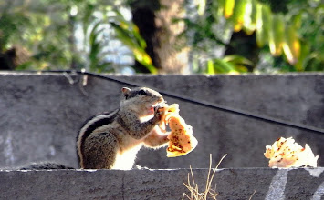 Photo: Kawaii (*^o^*) squirrel in Akola. Every morning, she eats Chapati for her breakfast fed by my mother in law (Aai). Munch munch, yummy yummy! 17th September updated -http://jp.asksiddhi.in/daily_detail.php?id=304