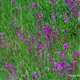 Смолка клейкая (Silene viscaria)