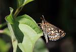 Spejlbredpande, Heteropterus morpheus2.jpg