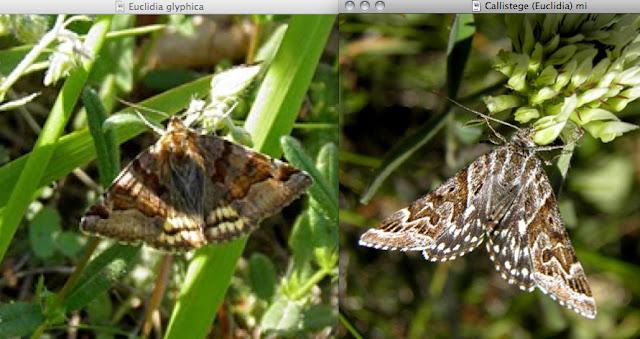 Noctuidae, Catocalinae. Comparaison entre Euclydia glyphica L., 1758 (à gauche) et Callistege (Euclidia) mi CLERCK, 1759. Le Bousquet (Aveyron, mai 2011). Photos : B. Uras