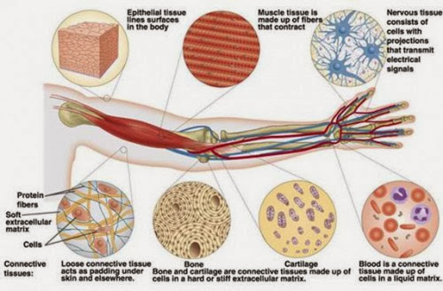 結締組織(Connective tissue) - ...