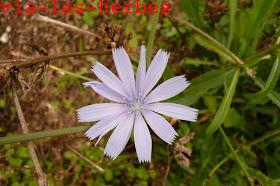 fleur chicoree 1.jpg