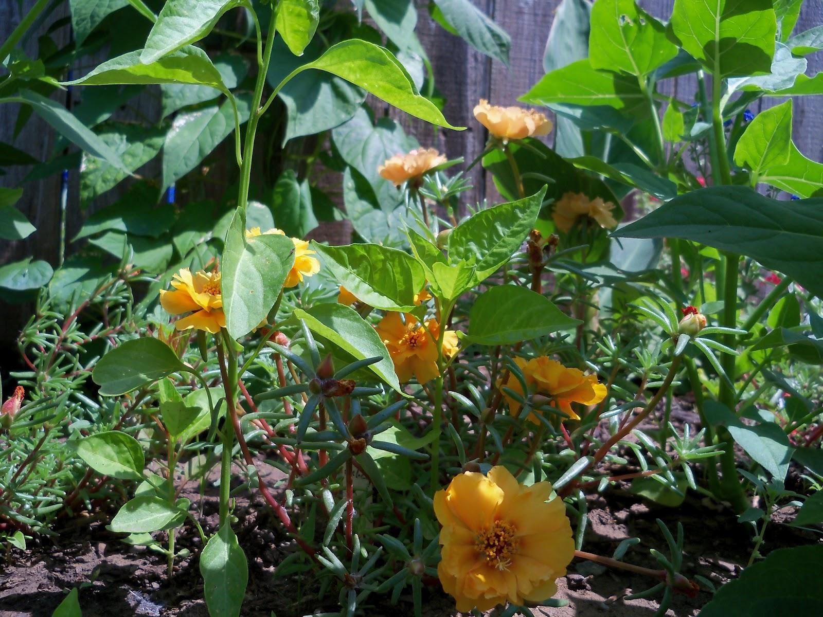 Gardening 2011 - 100_7990.JPG