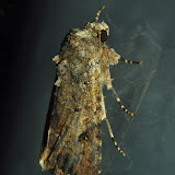 Noctuidae : Amphipyrinae : Spodoptera mauritia BOISDUVAL, 1833.  Umina Beach (NSW, Australie), 22 mars 2011. Photo : Barbara Kedzierski