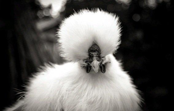 galinha com pelos 3