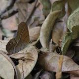 Pierella astyoche astyoche (ERICHSON, [1849]), mâle. Sentier de Popote (Saül), 14 novembre 2012. Photo : J.-M. Gayman