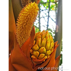 Nypa_fruticans_flowers