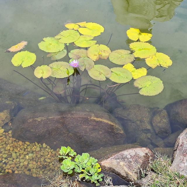 Planta aquática na Praça Torii do Mosteiro Zen Budista. Ibiraçu, ES.