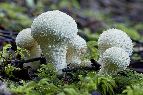Flaschen-Stäublinge (Lycoperdon perlatum)