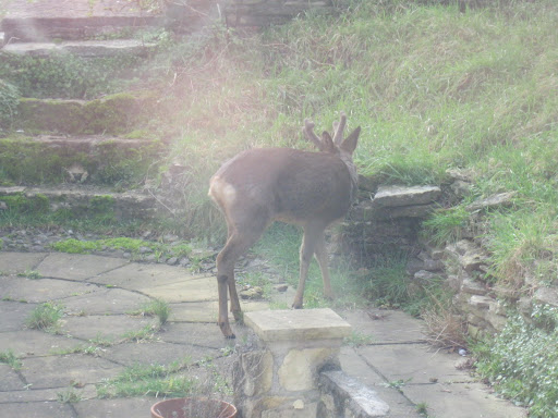 Managed to catch three deer in the back garden of where I'm currently renting.