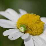 Thomisidae : Ebrechtella tricuspidata (FABRICIUS, 1775). Les Hautes-Lisières (Rouvres, 28), 13 juin 2012. Photo : J.-M. Gayman
