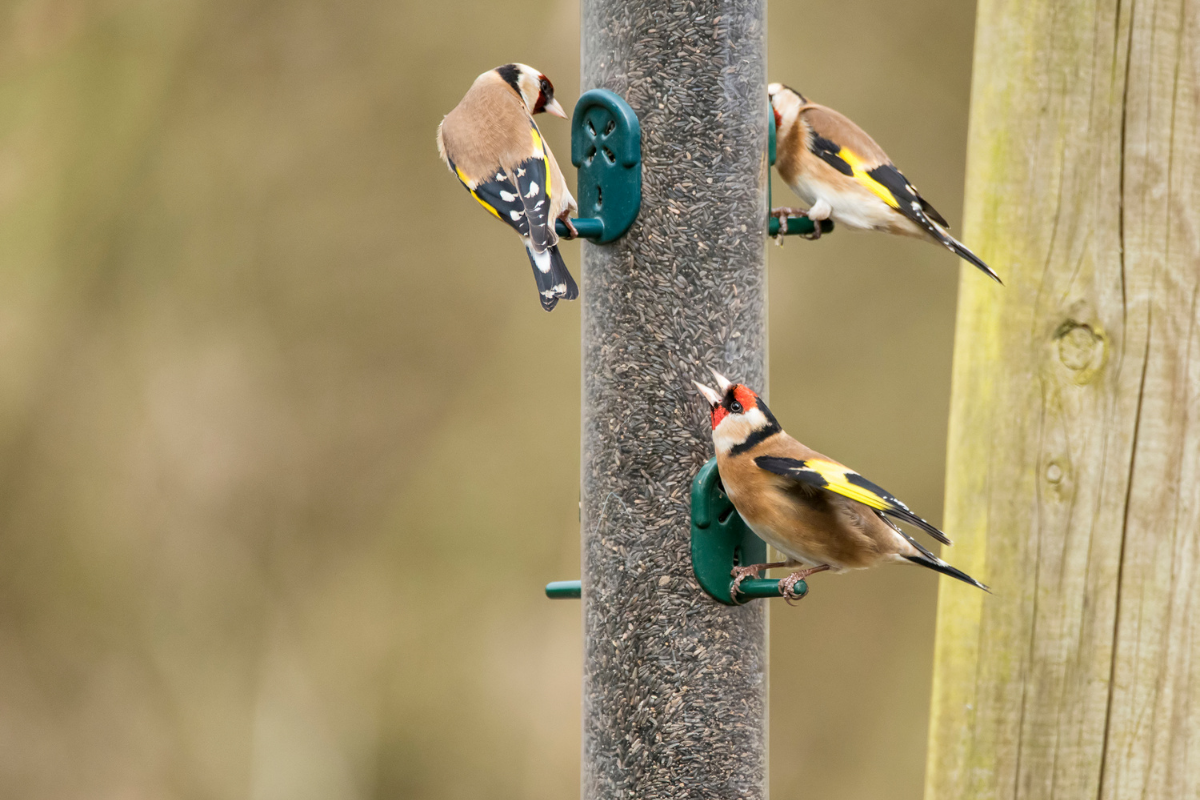 goldfinch and nyger seed