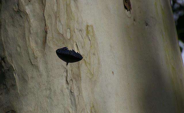 Hamadryas velutina BATES, 1865, mâle, sur un tronc d'eucalyptus. Partie orientale d'Ilha Grande (RJ), 18 février 2011. Photo : J.-M. Gayman