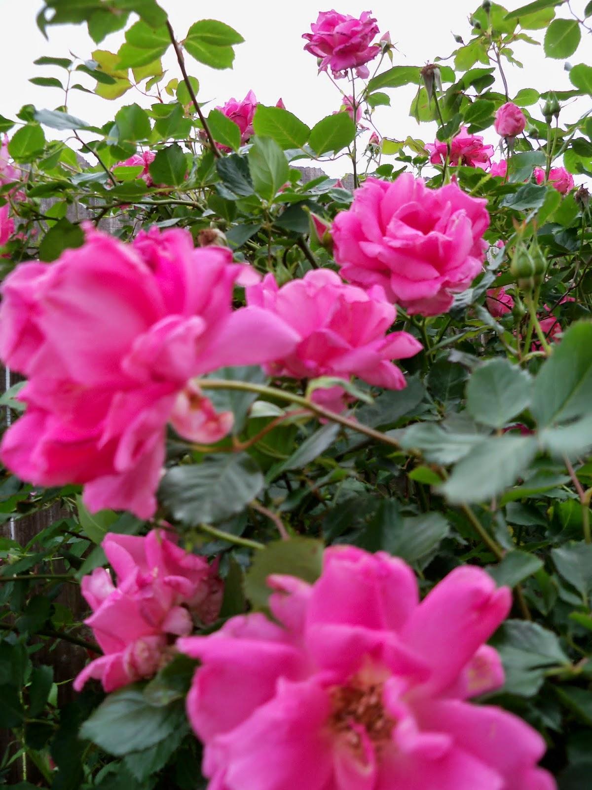 Gardening 2014 - 116_1494.JPG