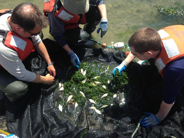 From left, Michael Caputo, Richard Ramsden and Stuart Munsch collect fish in a beach seine in the Puyallup estuary in September 2014. Photo: Andrew Yeh