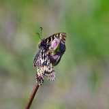 Zerynthia cassandra (GEYER, 1828), mâle. Parco Naturale Monti Livornesi (Toscane), 11 avril 2014. Photo : L. Voisin