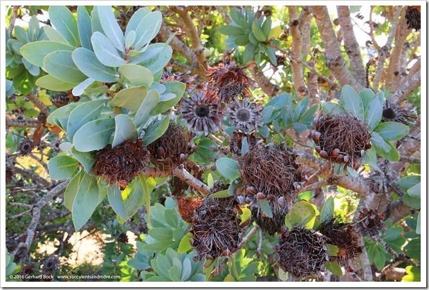 160813_UCSC_Arboretum_Protea-nitida_001