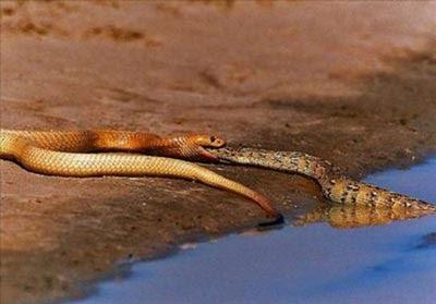 kobra-yilani