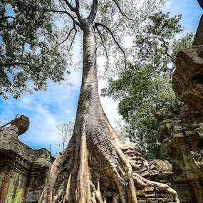 Ta Phrom by Lemuel Lee - Nature Up Close Trees & Bushes ( temple, trees, cambodia )