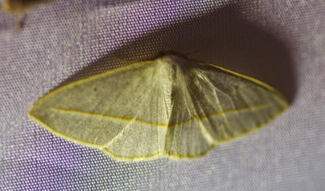 Probablement : Leuculopsis unifasciata DRUCE, 1892. Mount Totumas, 1900 m (Chiriquí, Panamá), 24 octobre 2014. Photo : J.-M. Gayman