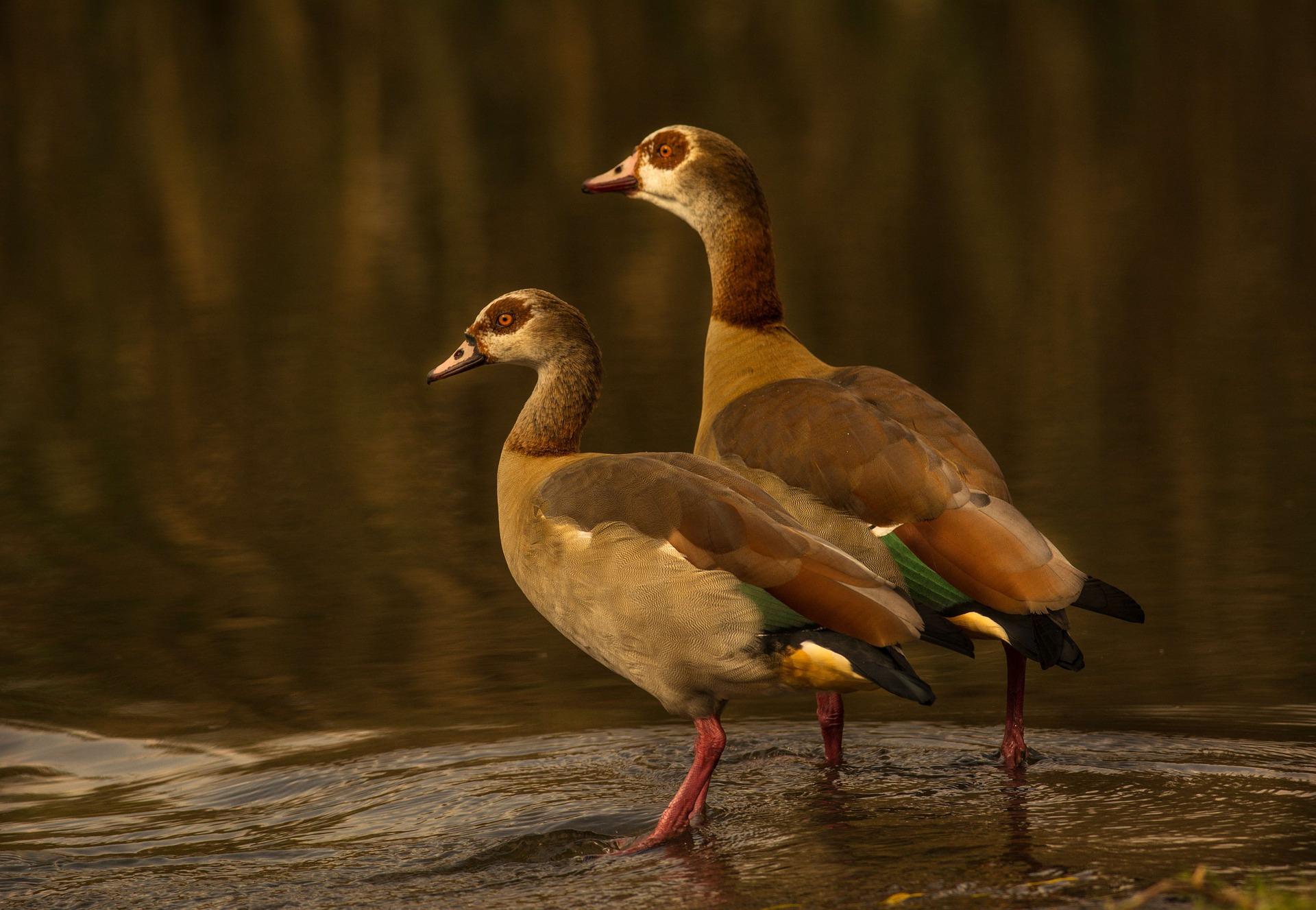 Short Stories L'Oie d'or ( Golden Goose)