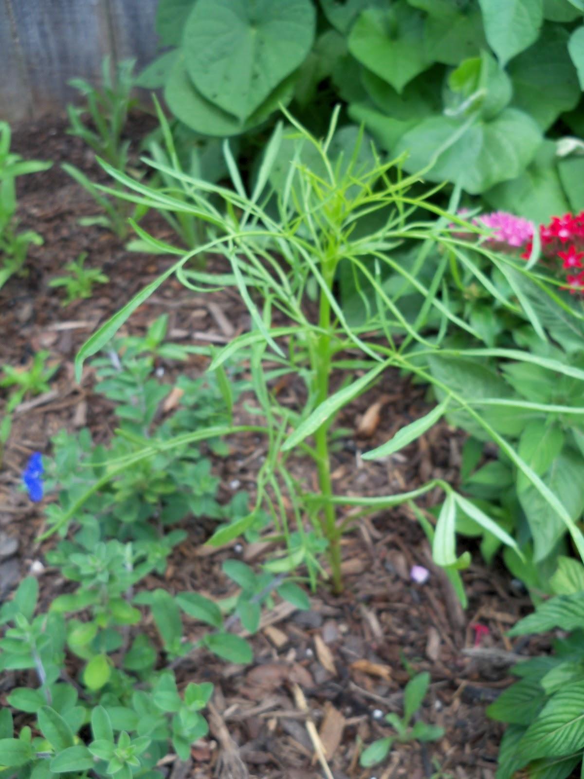 Gardening 2010, Part Two - 101_2666.JPG