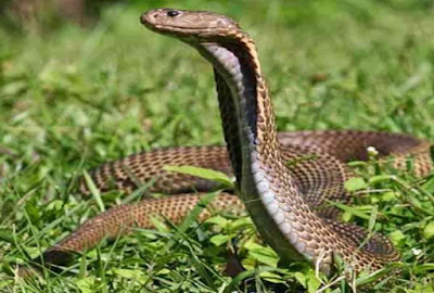 फ़िलिपीनी कोबरा (Philippine Cobra) 7th Most Deadliest Snake in world