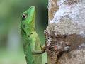 Green Tree Lizard | photo © George North