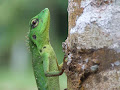 Green Tree Lizard | photo © George North