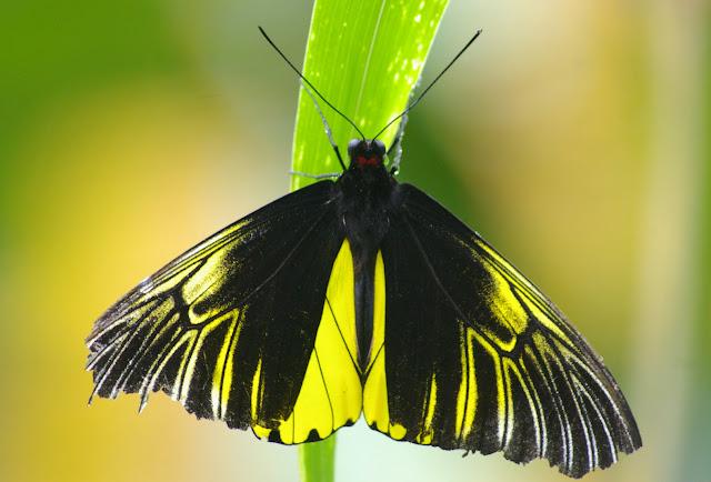 Troides amphrysus flavicollis DRUCE, 1873, mâle. Moyog, Crocker Range (Sabah, Malaisie, Bornéo), 18 août 2011. Photo : J.-M. Gayman