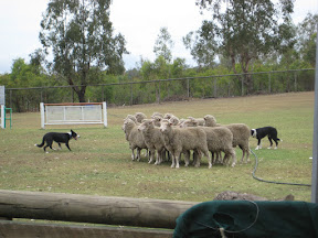 Sheep dogs herding sheep