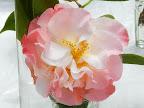 桃色 八重咲き 花びらは波打つ 大輪