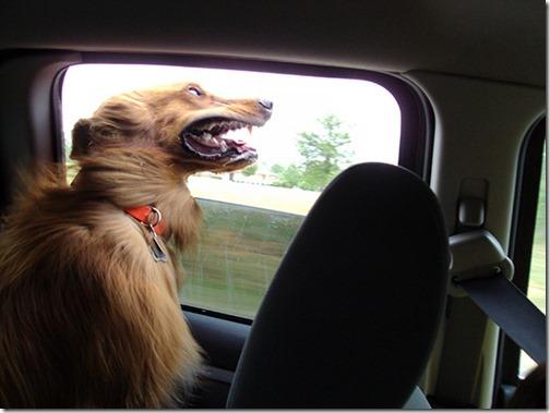perros asomads a la ventanilla del coche (11)