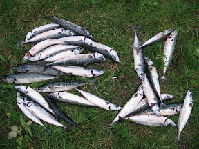 Fiskefangst fra fjordbrygge: Her makrell. Fin å steke/grille om sommeren.