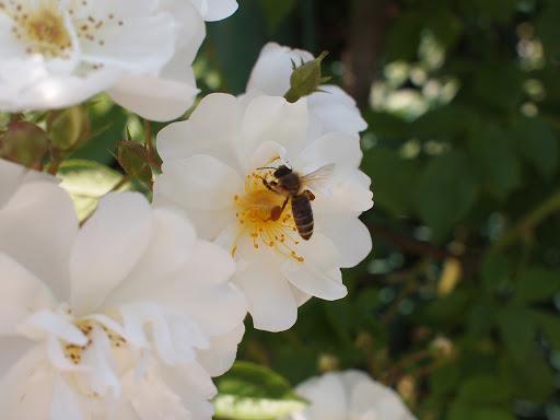 [写真]ミツバチが忙しそう