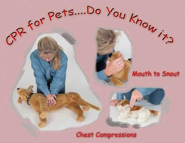 Sơ cứu phục hồi tim phổi cho chó Alaska