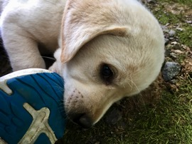Yellow Lab puppy gnawing on my shoe