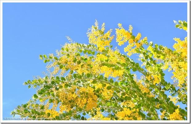 160215_UCDA_AcaciaGrove_Acacia-podalyriifolia_028