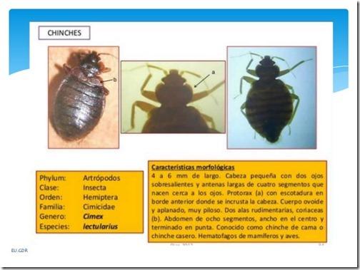 chinche-de-cama-cimex-lectularius-2-638