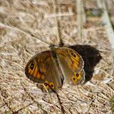 Lasiommata maera maera (L., 1758), femelle. Les Hautes-Courennes (548 m). Saint-Martin-de-Castillon (Vaucluse), 14 mai 2014. Photo : J.-M. Gayman