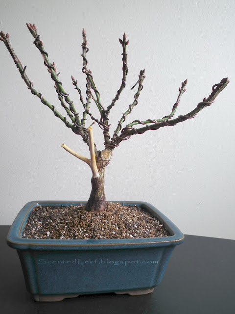 Euonymus Alatus bonsai - broom style in rectangular pot