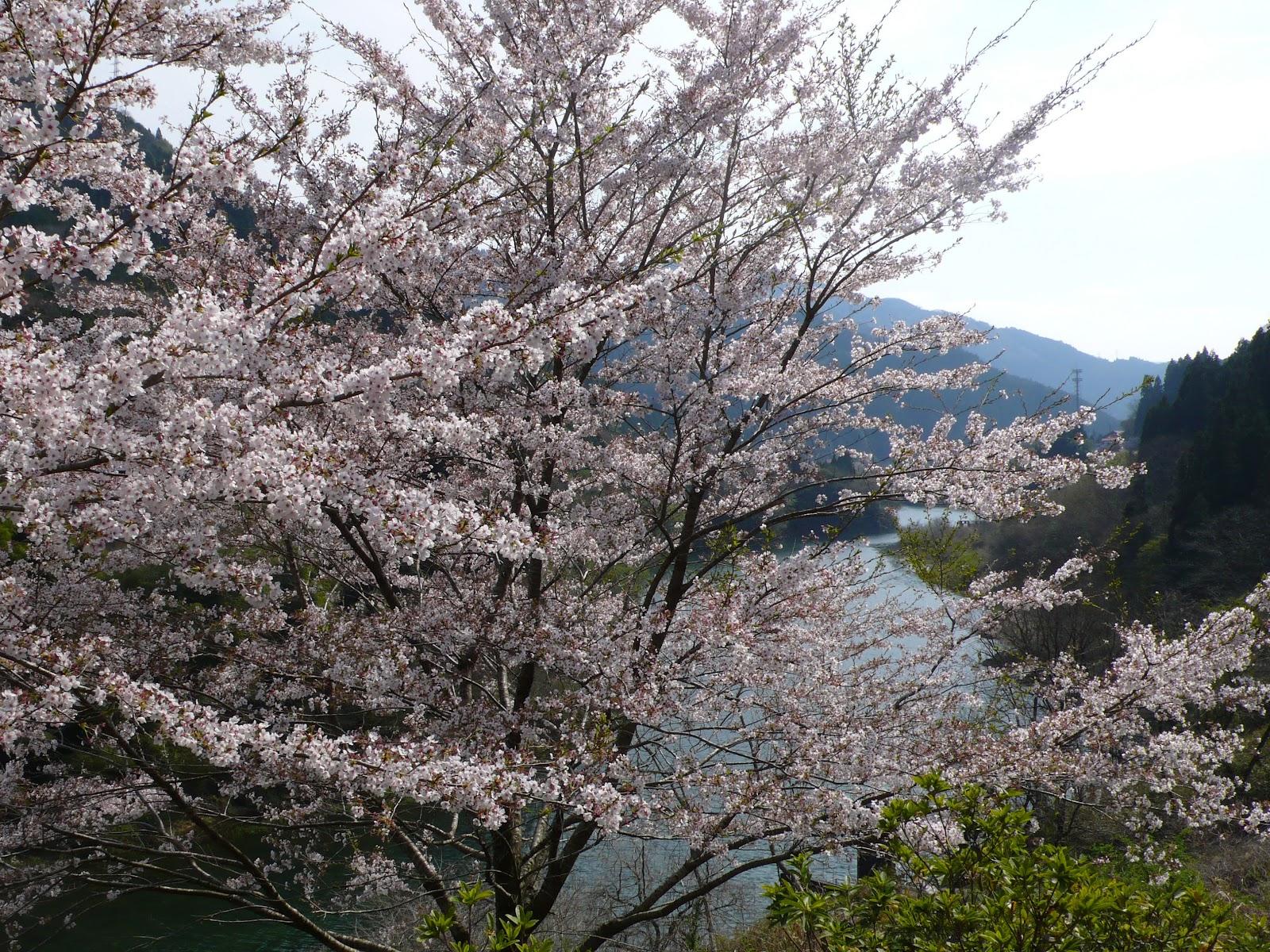 奥矢作湖の桜