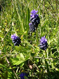 Muscari neglige, Muscari neglectum.JPG