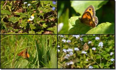 Butterflies at Cleaver Heath